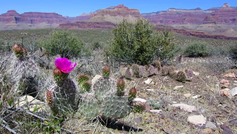 Cactus-Flowers-Bloom-4