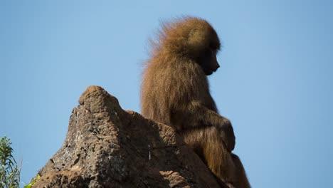Baboon-06