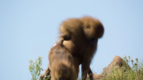 Baboon-10