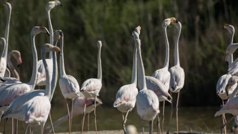 Carmargue-Flamingos-00