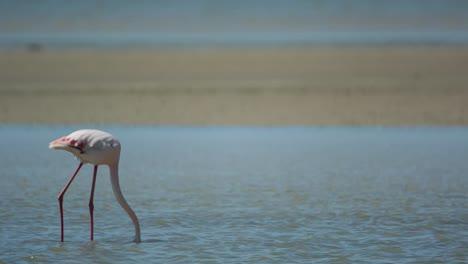 Carmargue-Flamingos-16