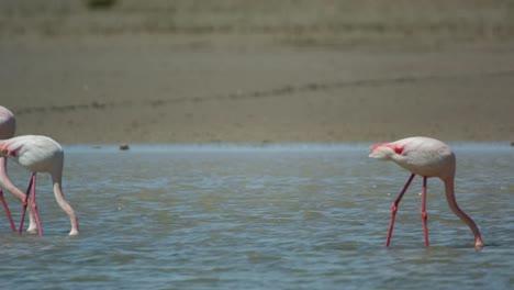 Carmargue-Flamingos-17