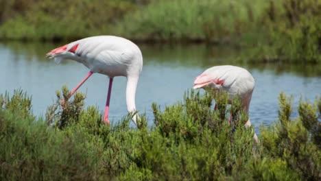 Carmargue-Flamingos-20