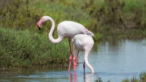 Carmargue-Flamingos-22
