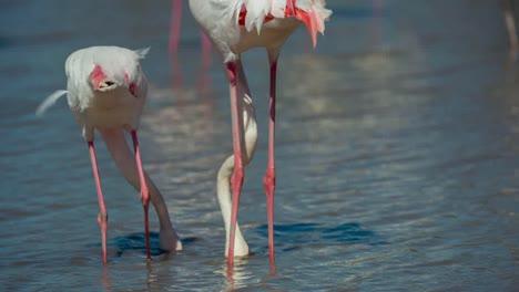 Carmargue-Flamingos-29