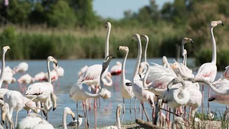 Carmargue-Flamingos-35
