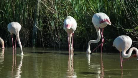 Carmargue-Flamingos-38