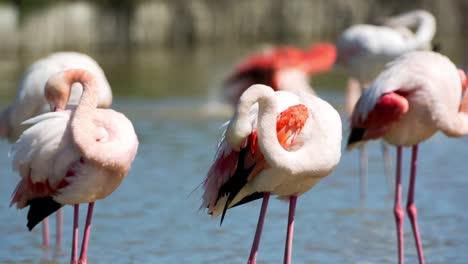 Carmargue-Flamingos-50