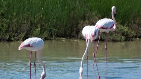 Carmargue-Flamingos-54