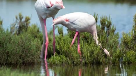 Carmargue-Flamingos-55