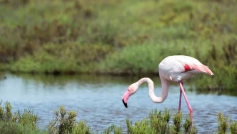 Carmargue-Flamingos-59