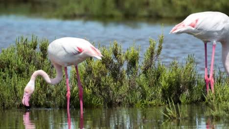 Carmargue-Flamingos-60