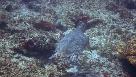 Cozumel-Turtle-01