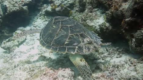 Cozumel-Turtle-04
