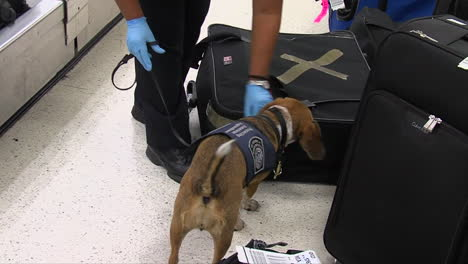 Homeland-Security-Uses-Canine-Sniffer-Dogs-To-Look-For-Drugs-At-An-American-Airport-2