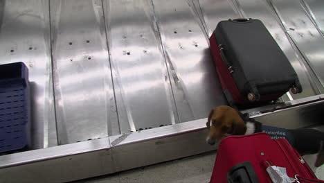 Seguridad-Nacional-Utiliza-Perros-Rastreadores-Caninos-Para-Buscar-Drogas-En-Un-Aeropuerto-Estadounidense-3
