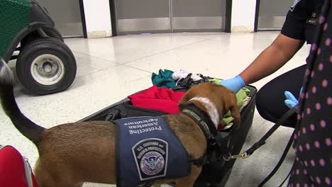 Homeland-Security-Uses-Canine-Sniffer-Dogs-To-Look-For-Drugs-At-An-American-Airport-4
