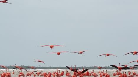 Flamingo-19