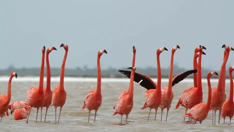 Flamingo-32