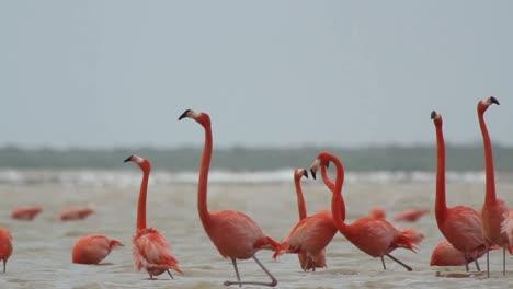 Flamingo-43