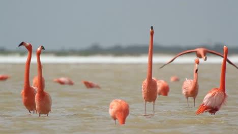 Flamingo-66