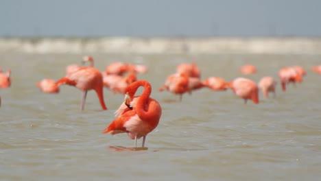 Flamingo-68