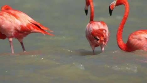 Flamingo-75