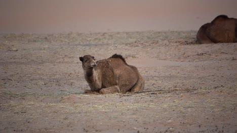 Merzouga-Camel-03