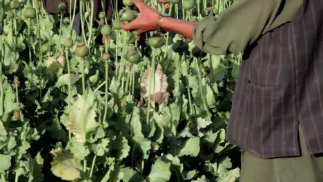 Hombres-Afganos-Cultivan-Amapolas-De-Opio-En-Los-Campos-1