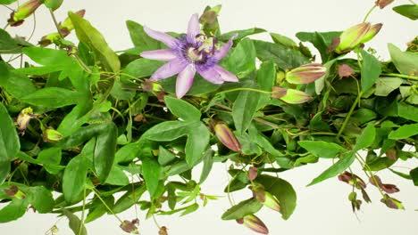Passiflora-05