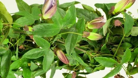 Passiflora-06