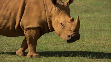 Rhino-11