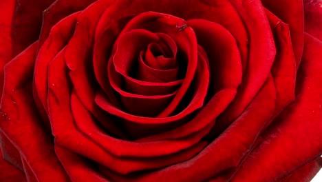 Rose-Closeup-00