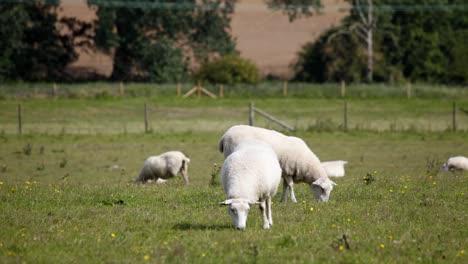 Sheep-01