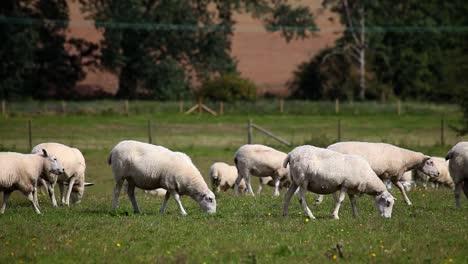 Sheep-03