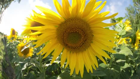 Sunflower-Field-02