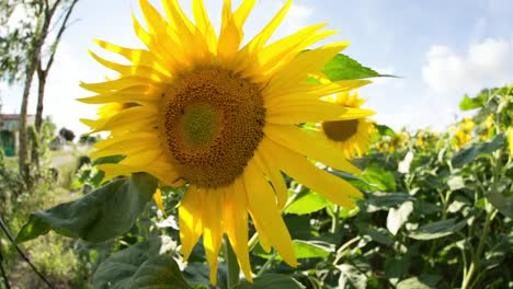 Sunflower-Field-04