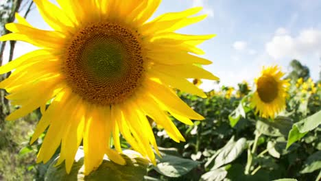 Sunflower-Field-05