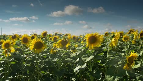 Sunflower-Field-13