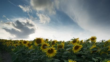 Sunflower-Field-14