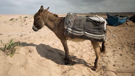 Tifnit-Donkey-00