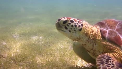 Turtle-30
