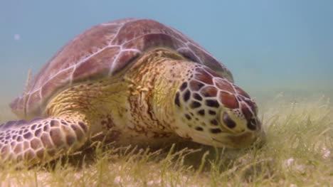 Turtle-33