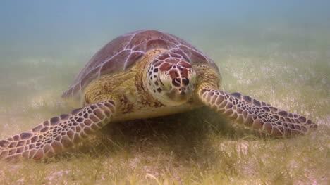Turtle-34