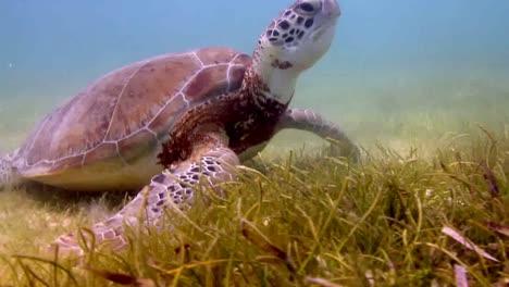 Turtle-35