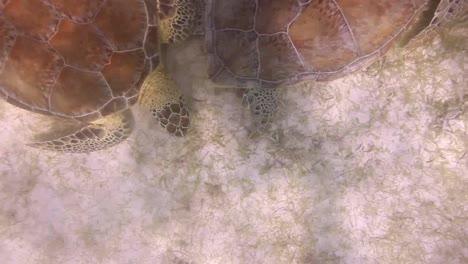 Turtle-39