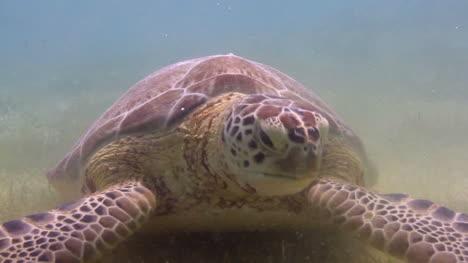 Turtle-40