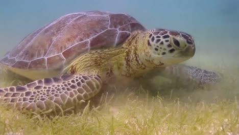 Turtle-50