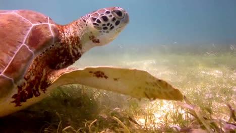 Turtle-51