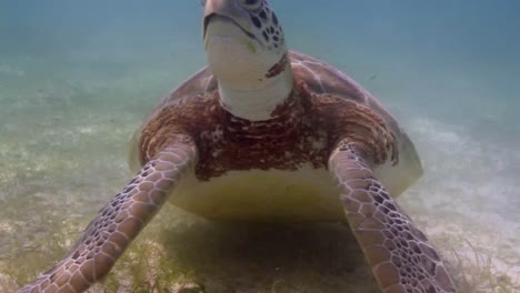 Turtle-53